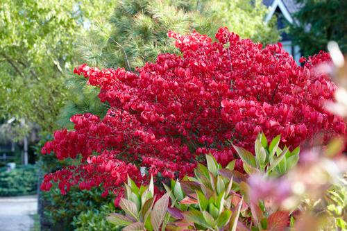 Dwarf Winged Burning Bush Euonymus Alatus Little Moses