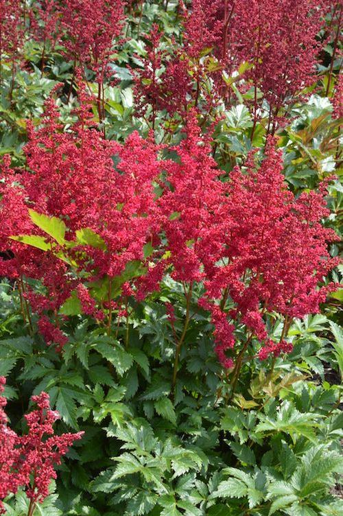 Astilbe chinensis 'Lowlands Ruby Red'