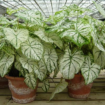 Caladium 'Best White'