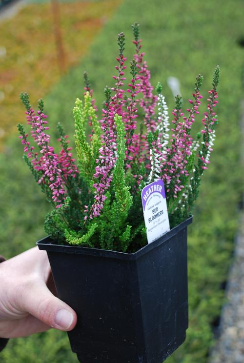 Heather Calluna vulgaris 'Double Play' Red & White