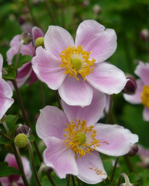 japanese anemone anemone hupehensis september charm from growing colors. Black Bedroom Furniture Sets. Home Design Ideas