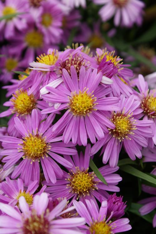 Aster dumosus (Hardy Aster)