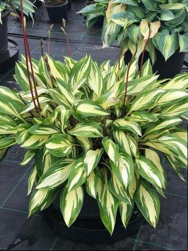 Plantain Lily Hosta Cherry Berry From Growing Colors