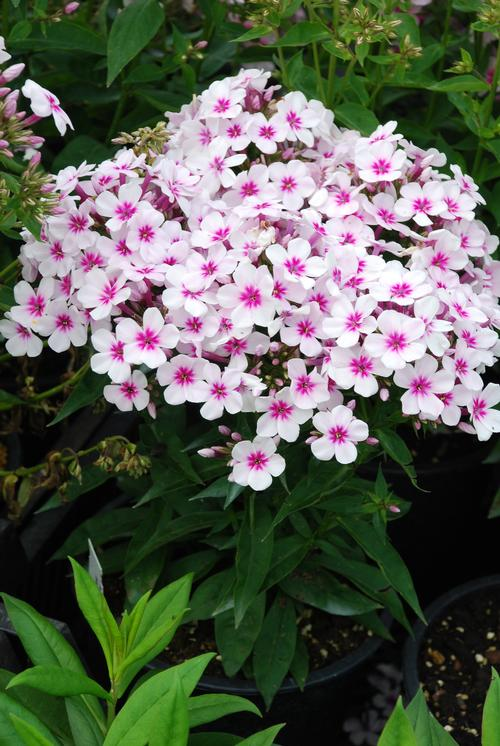 Dwarf Garden Phlox Phlox Flame Series Paniculata White Red Eye Flame 174 From Growing Colors