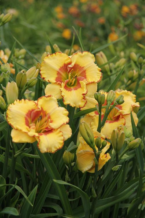 Daylily Hemerocallis Irresistible Charm From Growing Colors
