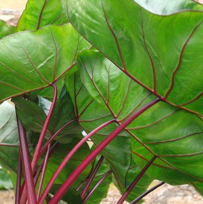 Elephant Ears - Colocasia esculenta 'Royal Hawaiian® Punch'