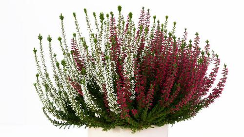 Heather 'Calluna vulgaris 'Double Play' Red & White'