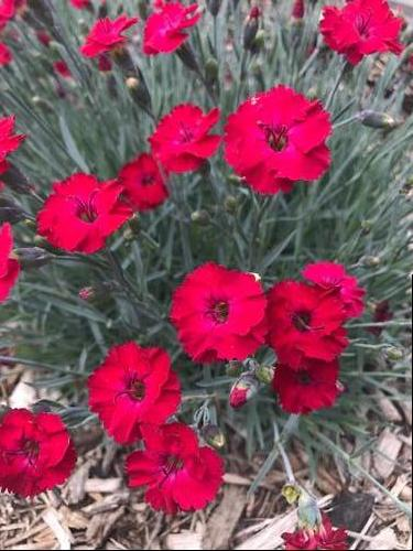 Dianthus 'Mountain Frost™ Red Garnet'