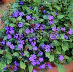Ground covers from growing colors ceratostigma plumbaginoides mightylinksfo
