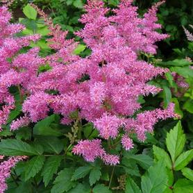 Astilbe hybrid Rhythm & Blues