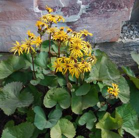 Ligularia dentata Othello