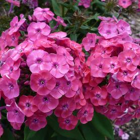 Phlox Medium Garden paniculata Junior Dance