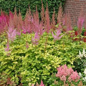Astilbe hybrid arendsii Beauty of Ernst Color Flash Lime