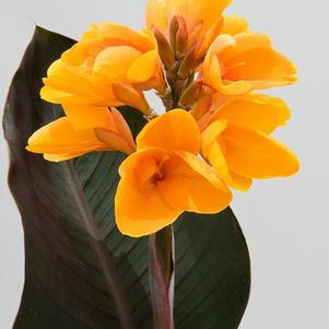 Canna indica Elite™ Chocolate Sunrise