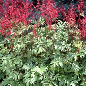 Astilbe arendsii Glow