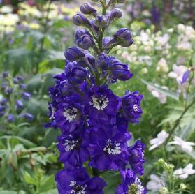 Delphinium 'Magic Fountain Dark Blue/White Bee'