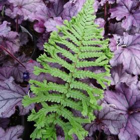 Dryopteris affinis Cristata 'The King'