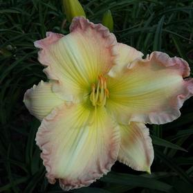 Hemerocallis 'Big Smile'