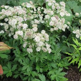 Astrantia major 'Star of Billions'