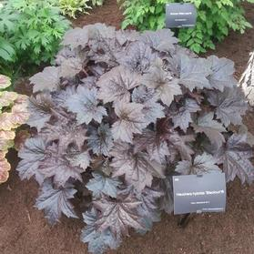 Heuchera 'Black Out'