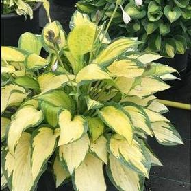 Hosta 'Orange Mamalade'