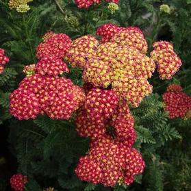 Achillea millefolium Strawberry Seduction