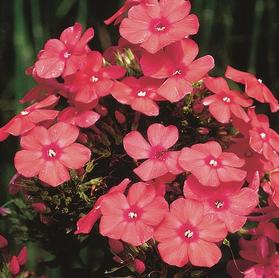 Phlox Tall Garden paniculata 'Orange Perfection'