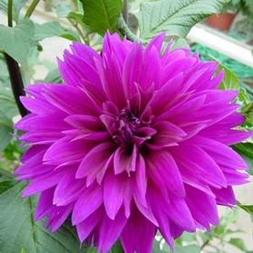 Dahlia Dinnerplate Lavender Perfection