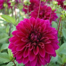 Dahlia Tall Dinner Plate 'Thomas Edison'