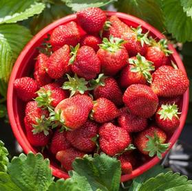 Strawberry 'Honeoye'