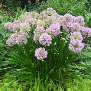 Allium tanguticum 'Summer Beauty'