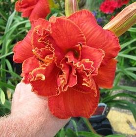 Hemerocallis 'Moses Fire'