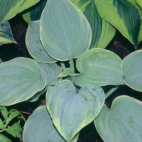 Hosta 'Blue Flame'