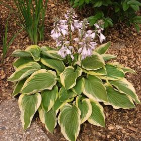 Hosta 'Frozen Margarita'