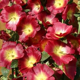 Alcea Rosea Halo Red & Yellow