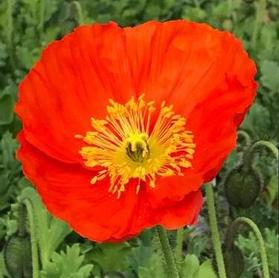 Papaver nudicaule 'Spring Fever™ Orange'