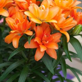 Lilium - Asiatic Pot Lily Looks™ 'Tiny Double You'