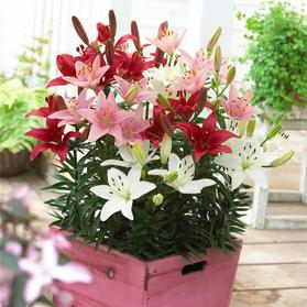 Lilium - Asiatic Pot Lily Looks™ 'Patio Spring Combo'