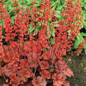Heuchera 'Cherry Cola'