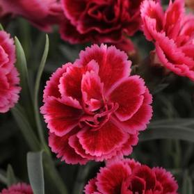Dianthus 'Everlast™ Burgundy Blush'