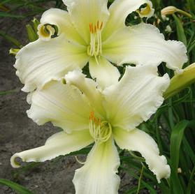 Hemerocallis 'Heavenly Angel Ice'