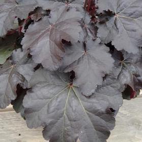 Heuchera 'Kira Black Forest'