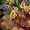 Heuchera 'Little Cutie Blondie'