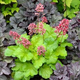 Heuchera 'Little Cutie Sweet Tart'
