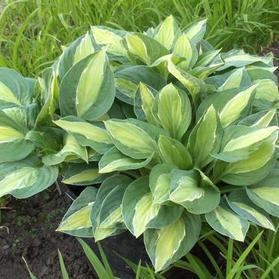Hosta 'Gypsy Rose'