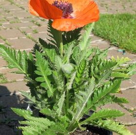 Papaver orientalis 'Prince of Orange'