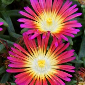 Delosperma 'WOW® Hot Pink Wonder'