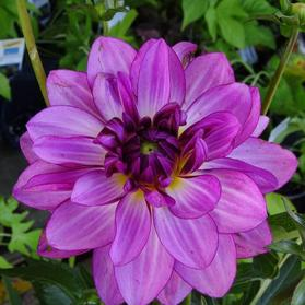 Dahlia Go Go Blues