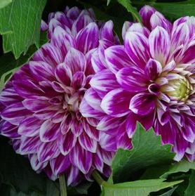 Dahlia 'GoGo Two Tone Purple / White'
