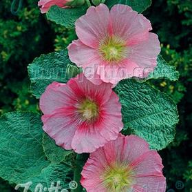 Alcea rosea Spotlight Radiant Rose
